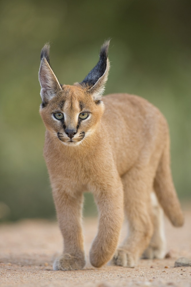 Caracal (Felis caracal) walking South Africa