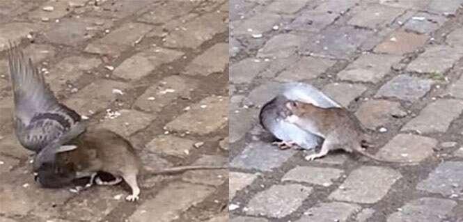 Vídeo chocante mostra momento em que rato afunda os dentes no pescoço de pombo para devorá-lo