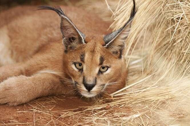 caracal wild cat