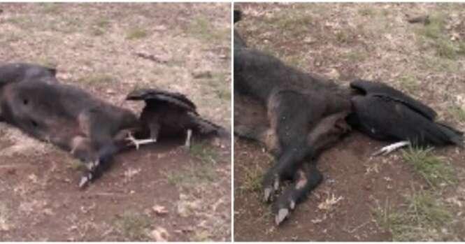 Urubu fica com a cabeça presa na traseira de porco morto ao tentar devorar animal