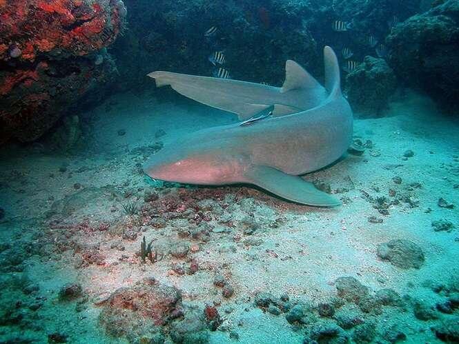 Espécies de tubarões que já protagonizaram ataques a humanos