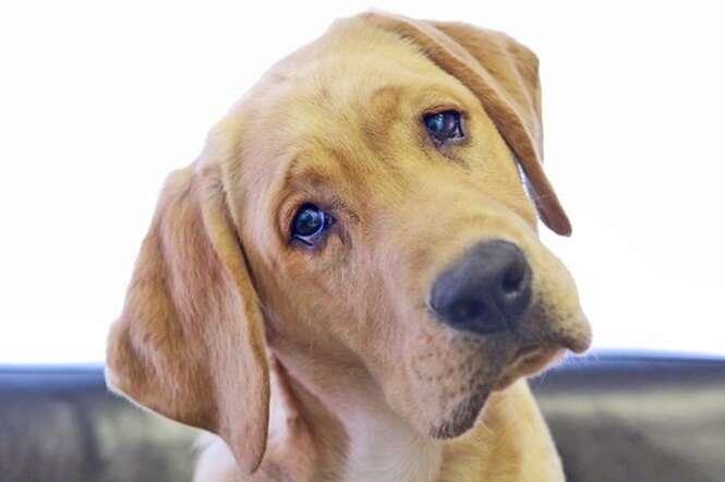 Você sabe por que os cães inclinam a cabeça para o lado quando falamos com eles?