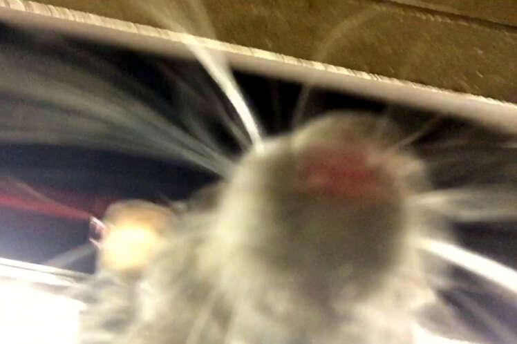 Selfie de rato