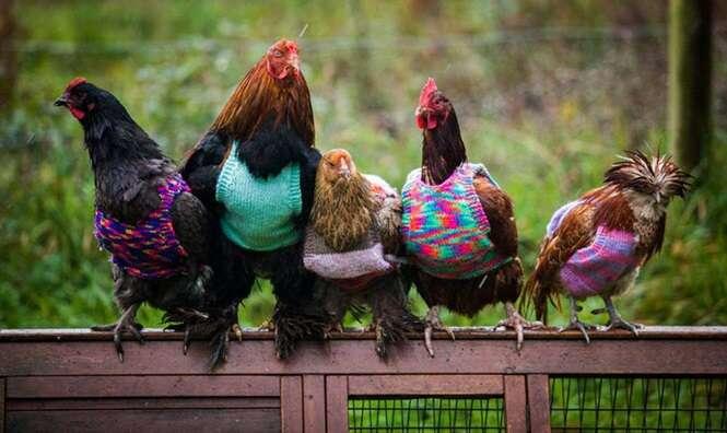 Mulheres confeccionam roupas para suas galinhas e frangos