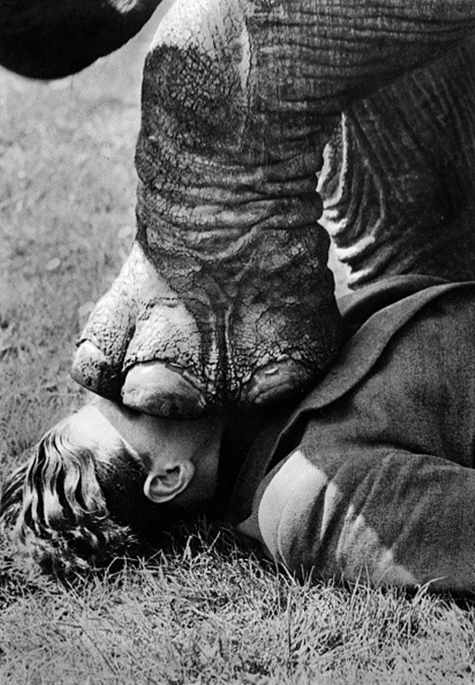 Elephant training: A foot of the elephant on the head of the artist  - around 1938 - Photographer: Presse-Illustrationen Heinrich Hoffmann  - Published by: 'Berliner Morgenpost' 27.11.1938  Vintage property of ullstein bild