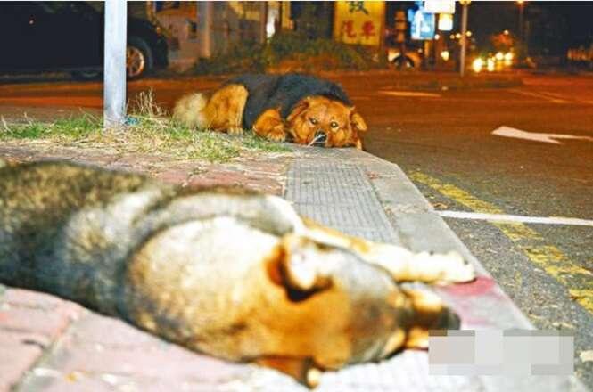 Cão passa 10 horas deitado em frente companheiro que morreu atropelado