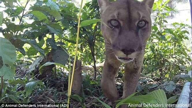 Vídeo comovente mostra momento em que leão é solto na natureza após passar 20 anos em cativeiro