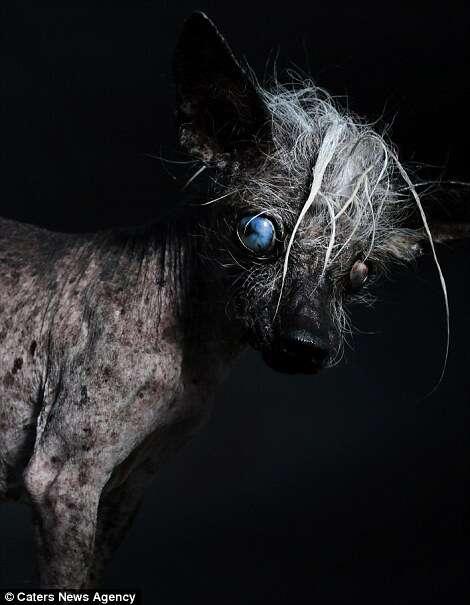 Califórnia promove concurso em busca do cão mais feio do mundo