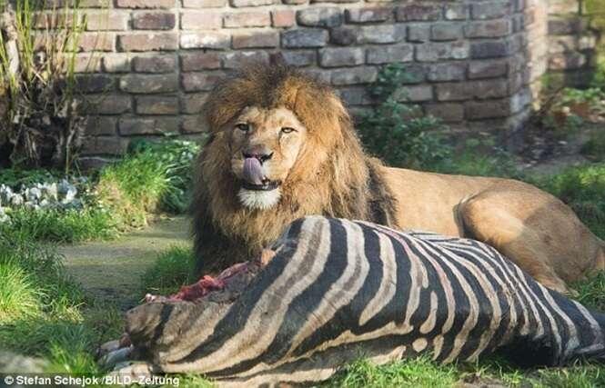 Visitantes de zoológico ficam chocados ao presenciar momento em que leões devoravam zebra