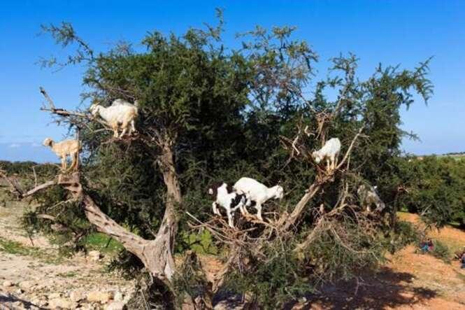 CEH11K Goats climbing an Argan tree near Essaouira, Morocco, North Africa