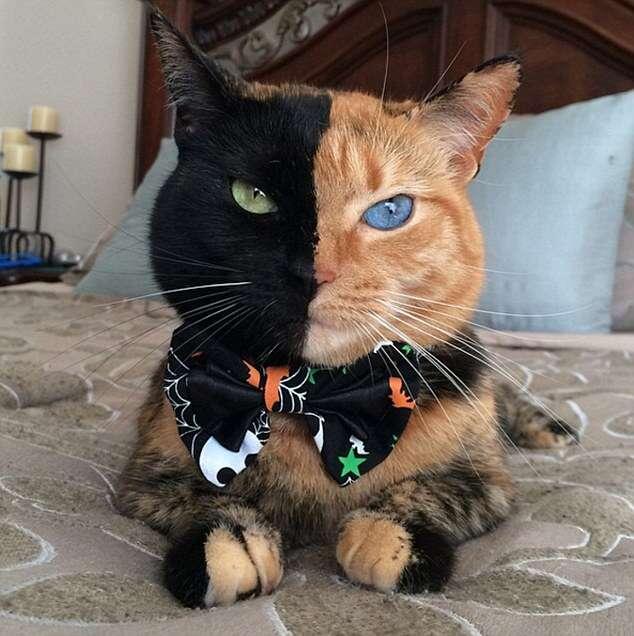 Gato com rosto de duas cores
