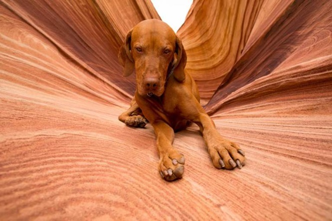 E712WK golden color pure breed dog laying obediently in Coyote Butte Arizona