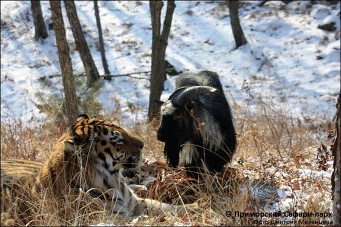 Tigre recusa devorar bode colocado em sua jaula e se torna grande amigo da presa