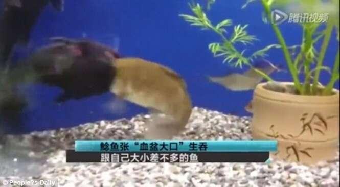 Vídeo incrível flagra momento em que bagre engole peixe praticamente do seu tamanho