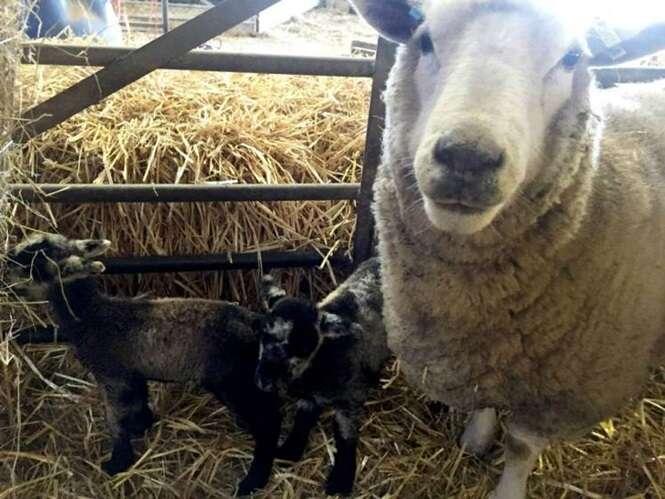 """Ovelha """"virgem"""" dá à luz cordeiros gêmeos"""