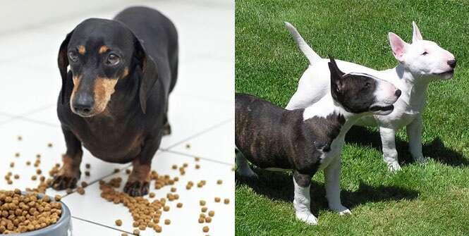 Raças de cães consideradas as mais bagunceiras do mundo
