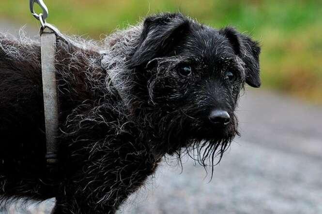 Cão mais desprezado da Grã-Bretanha tenta há 7 anos encontrar um lar