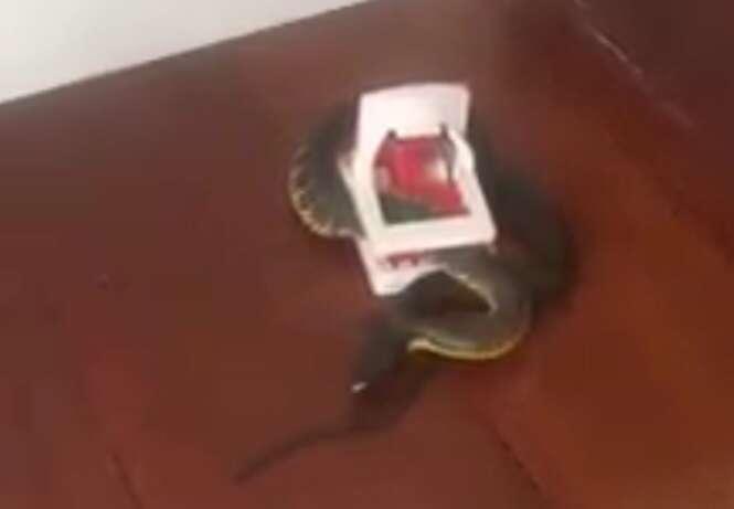 Homem leva enorme susto ao voltar do trabalho e encontrar cobra venenosa presa em ratoeira