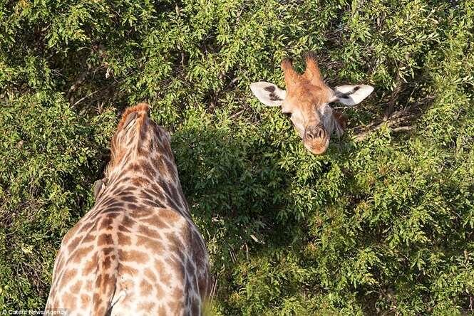 Foto estranha de girafa com pescoço mais longo que o comum faz sucesso na web