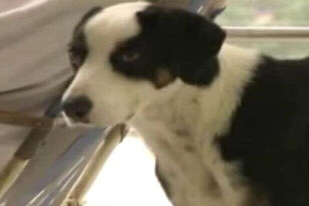 Cão leal anda em hospital à procura de dono