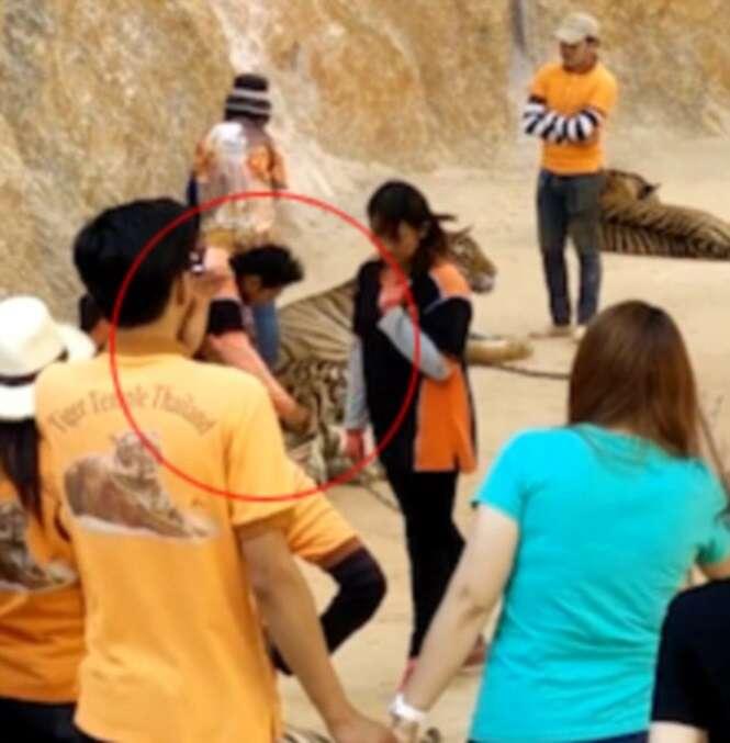 Vídeo flagra funcionário de santuário de animais dando soco na cara de enorme tigre