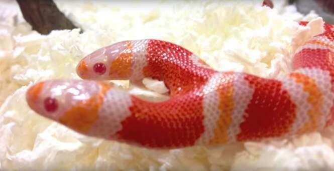 Conheça a cobra de duas cabeças que briga para comer o mesmo alimento