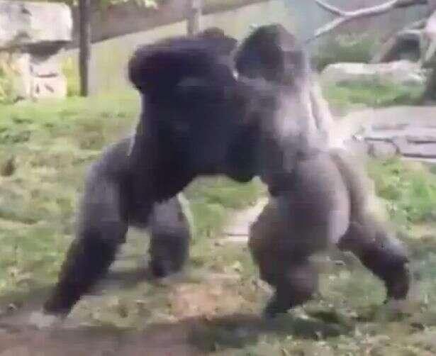 Vídeo chocante flagra momento em que gorilas espancam um ao outro