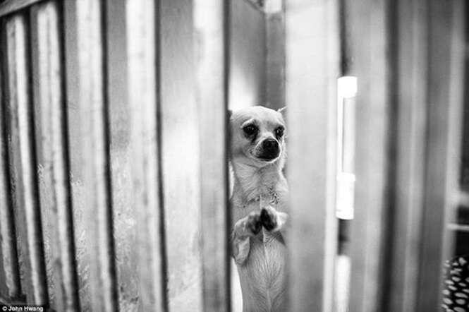 Imagem de chihuahua implorando por adoção antes de ser sacrificado comove internautas