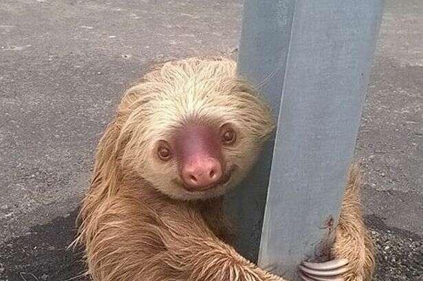 Bicho preguiça é encontrado agarrado a barra de proteção em rodovia