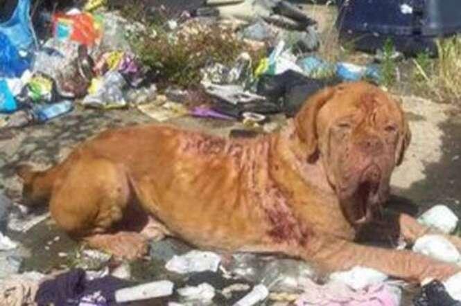 Cão tem recuperação inacreditável após ser encontrado abandonado em pilha de lixo e coberto de feridas