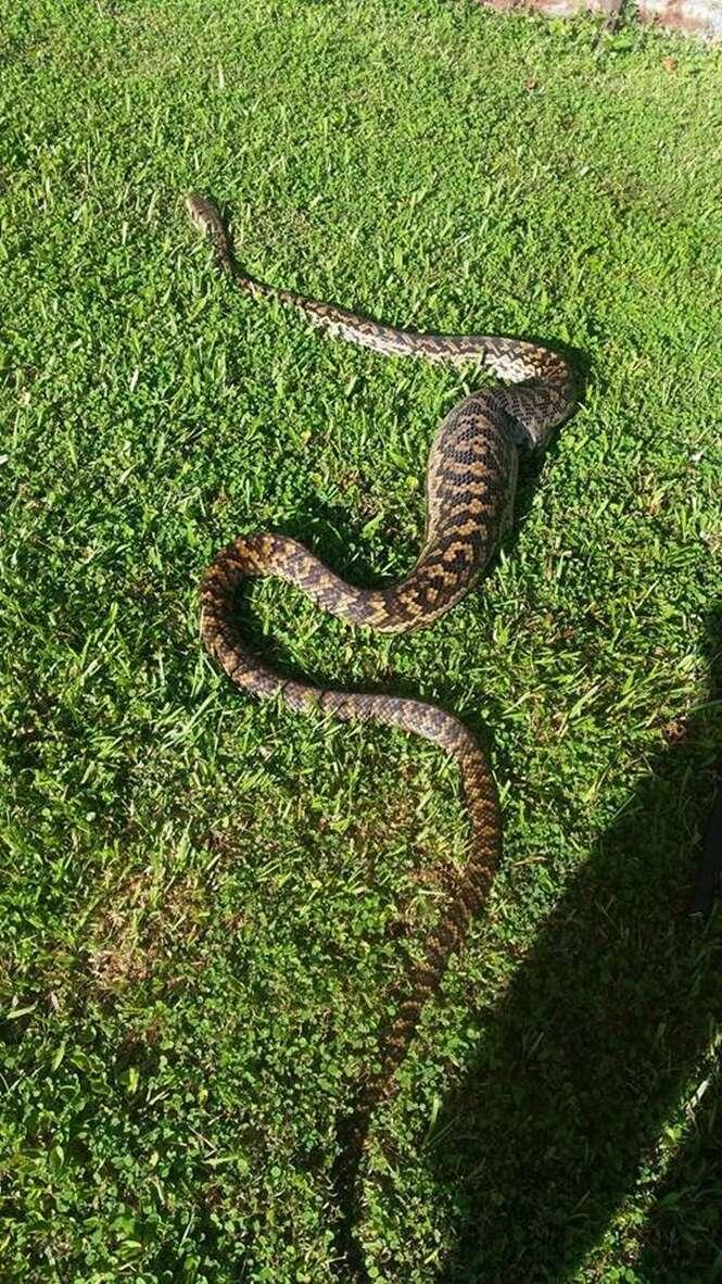 Mulher leva enorme susto ao encontrar cobra píton de 3 metros no seu quintal