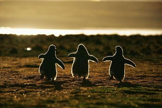 Belas imagens mostrando a beleza dos pinguins
