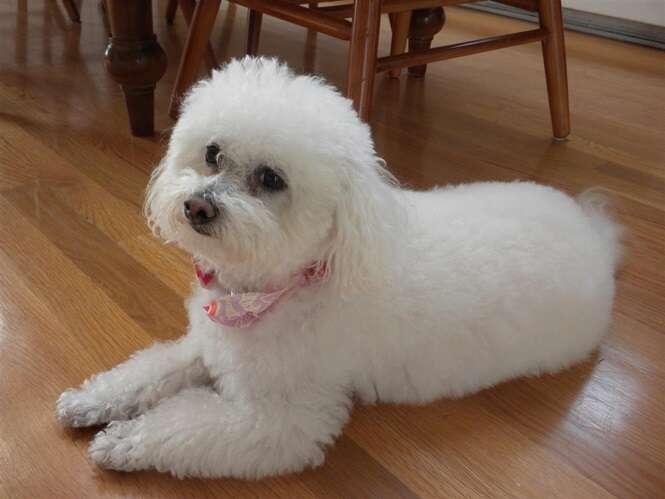 Melhores raças de cães para os donos preguiçosos