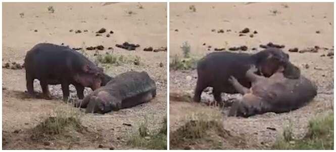 Vídeo comovente flagra hipopótamo tentando desesperadamente reviver seu amigo morto