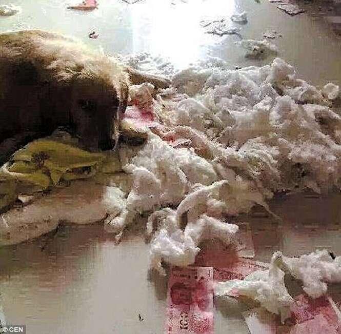 Homem esconde R$ 2.200 da esposa em edredom e cão mastiga tudo