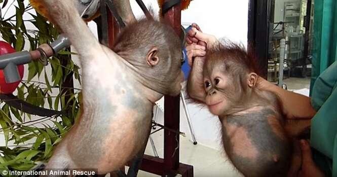 Orangotango filhote encontrado quase sem vida tem reação impressionante ao ser colocado ao lado de outro animal de sua espécie