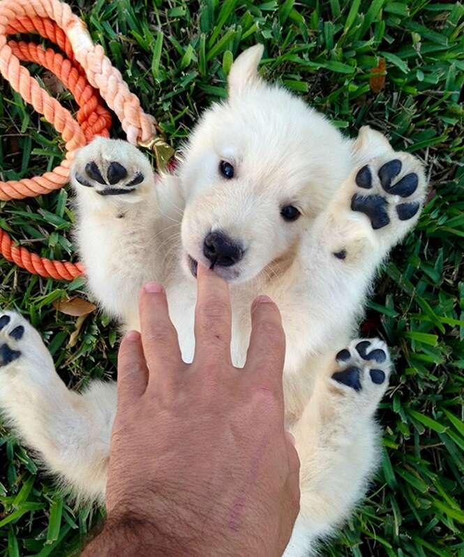 Cães que se parecem com ursos