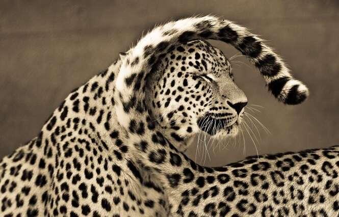 Fotógrafo exibe série incrível de imagens após passar 10 anos registrando fotos de grandes felinos
