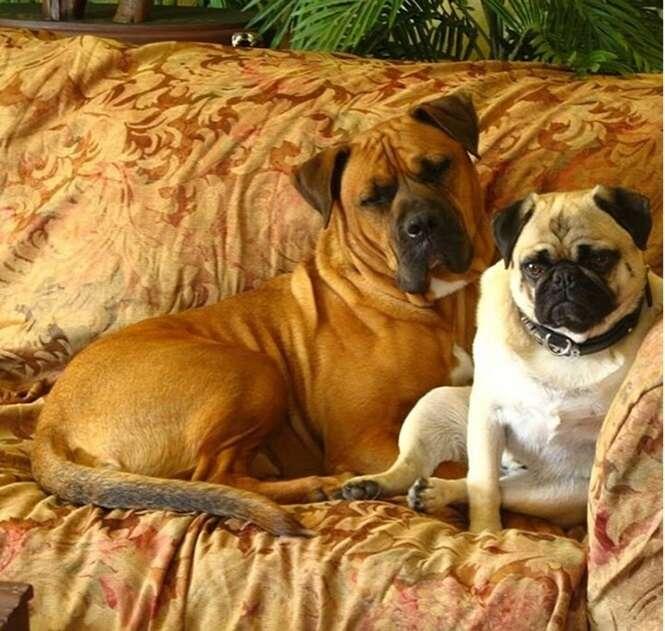 Cães que parecem homens idosos