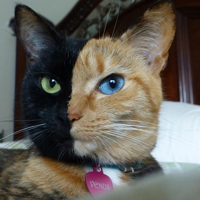 Foto: Venus the Two Face Cat
