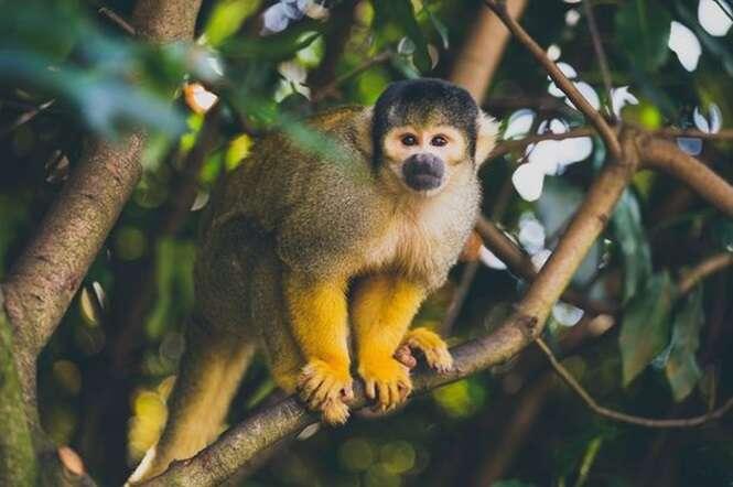 Neurocirurgião faz com sucesso transplante de cabeça em macaco