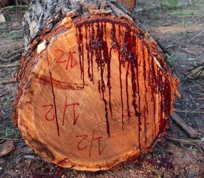 Vídeo mostra momento em que árvore começa a sangrar