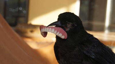 Corvo rouba dentadura de homem