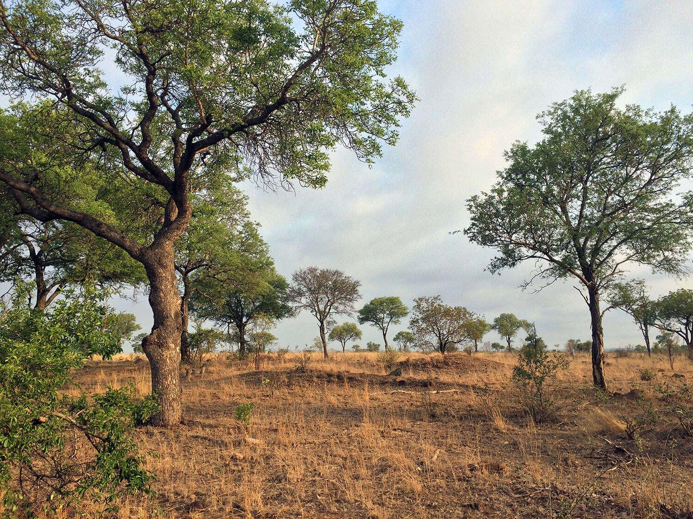 Você consegue encontrar a onça-africana nesta imagem?