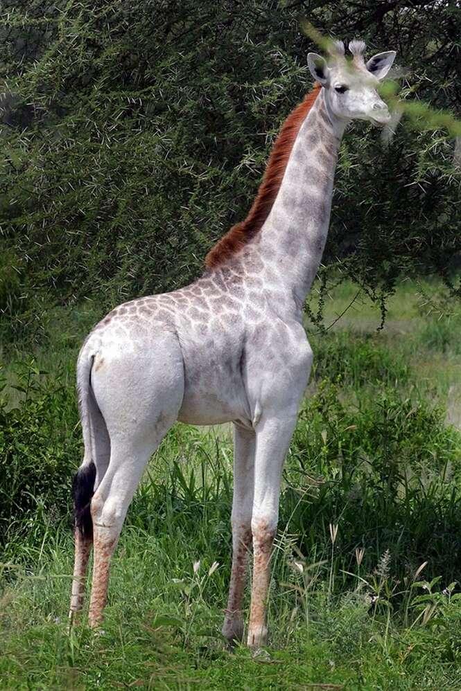 Girafa branca rara é encontrada na Tanzânia