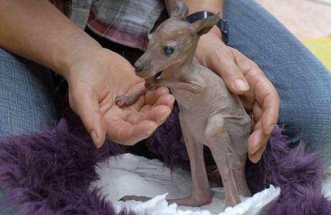 Imagens curiosas de animais sem pelo