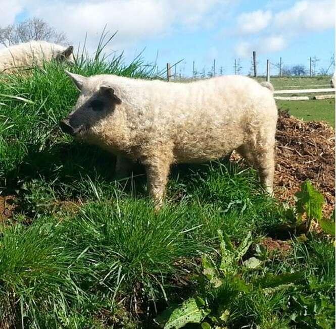Conheça o raro tipo de porco doméstico que se parece com uma ovelha