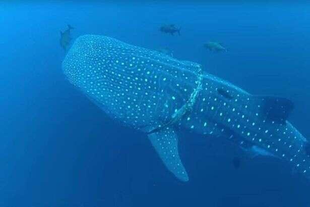 Enorme tubarão-baleia entende que mergulhador estava lhe ajudando e aguarda imóvel até ser libertado de corda