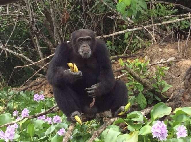 Chimpanzé abandonado em ilha após ser usado como cobaia abraça mulher após receber visita