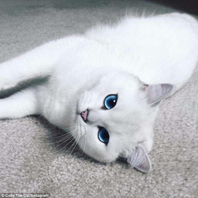 Gato perfeito faz sucesso nas redes sociais exibindo seus lindos olhos azuis
